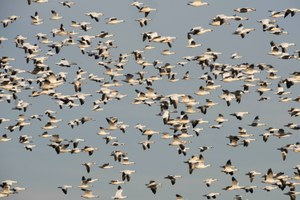 Latest: Snow geese die in a toxic lake in Montana