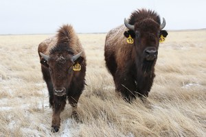 In bison recovery, scientists start small