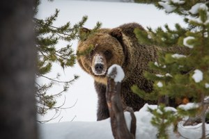 Latest: Wyoming drafts a Yellowstone grizzly management plan