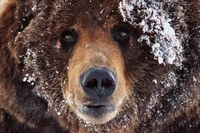 As delisting looms, grizzly advocates prepare for a final face-off