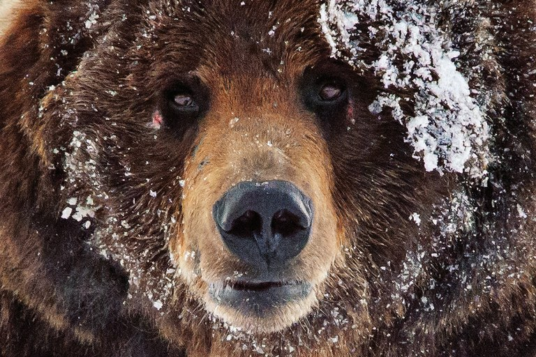 As delisting looms, grizzly advocates prepare for a final