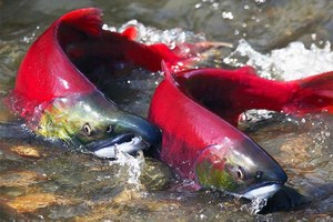 Latest: Columbia River salmon recovery plan invalidated