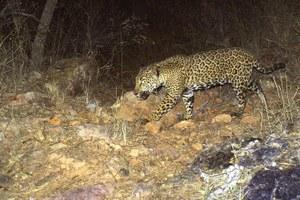 The tenuous fate of the Southwest's last jaguars