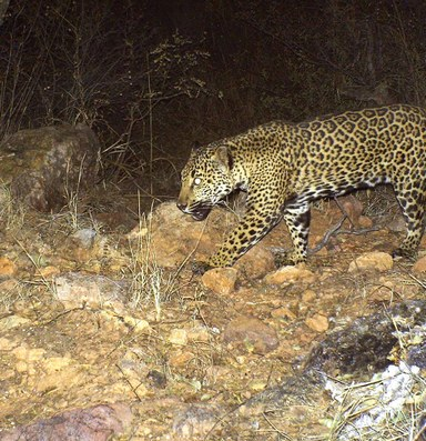 The tenuous fate of the Southwest's last jaguars