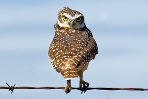 Bedrooms for burrowing owls