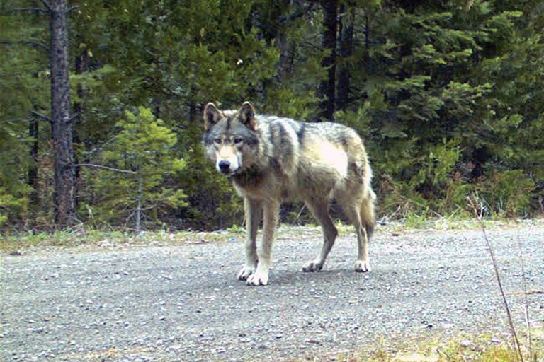 Why or7 is a celebrity while wolves still have names for Oregon fish and wildlife jobs