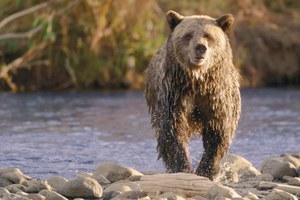 Tribal nations fight removal of grizzly protections