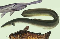 Why we should celebrate unlovely fish