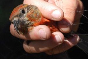 The West's newest bird species has a beak like a crowbar