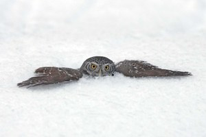 The mystery of owls, revealed
