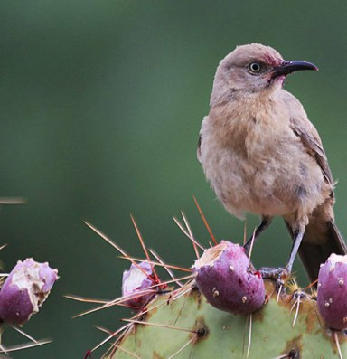 Desert songbirds struggle with more frequent heat waves