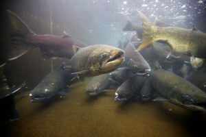 States restrict chinook fisheries