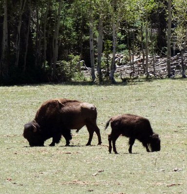 Latest: Park Service to cull part of Grand Canyon's bison herd
