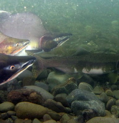 'Helpless and culpable' while fishing the pink's peak run