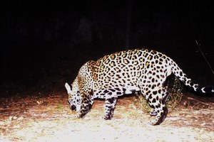 Latest: Second male jaguar spotted in Arizona