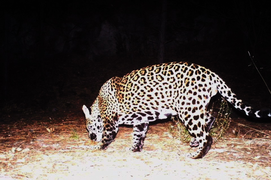 latest: second male jaguar spotted in arizona — high country news