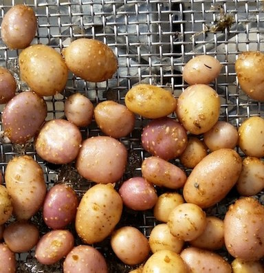 How an ancient potato helped people survive climate shifts