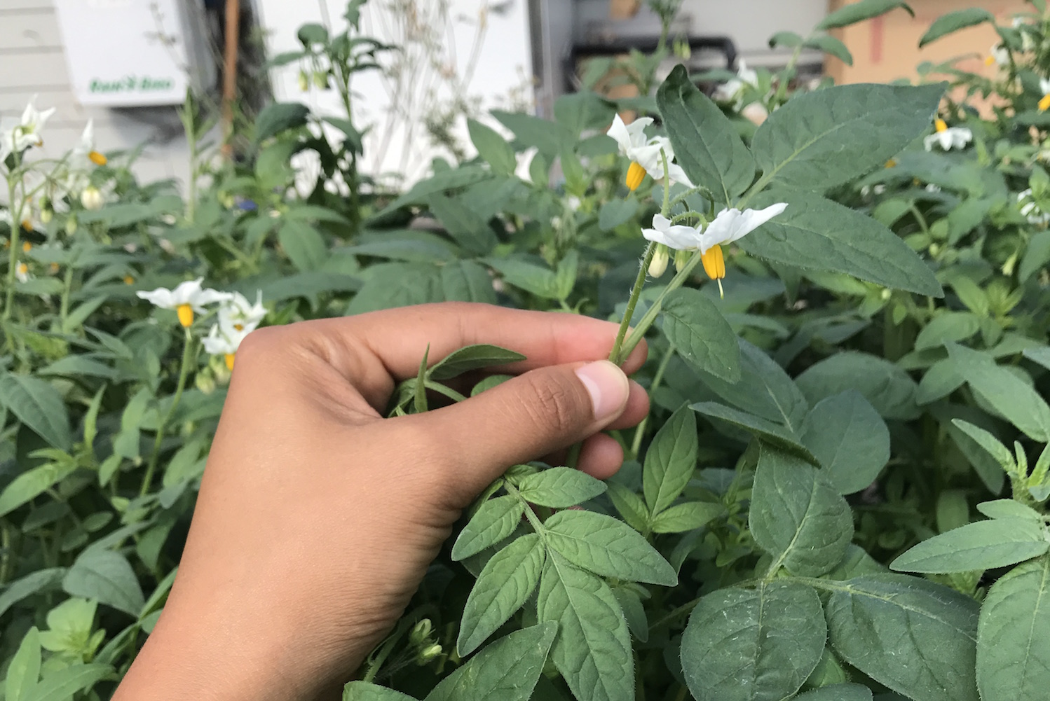The use of potato flowers in traditional medicine 14