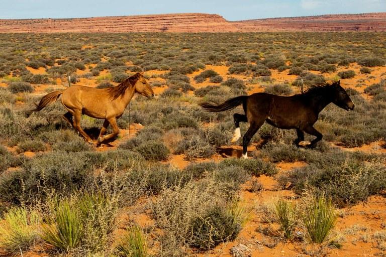 The Navajo Nation has a wild horse problem (The Navajos