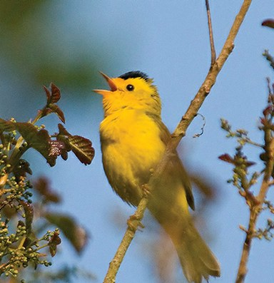By shifting nesting times, early birds adjust to climate change
