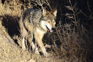 Latest: Final Mexican wolf plan released