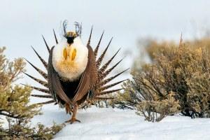 The iconic bird of the 'Sagebrush Sea'