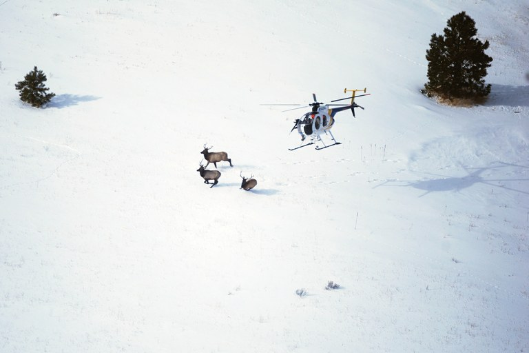 Montana's game managers try to outsmart elk