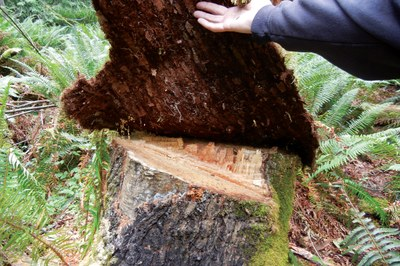 Busting the tree ring