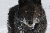Latest: Gray wolves delisted in Wyoming