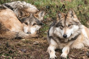 Latest: Mexican wolves are about to get wild