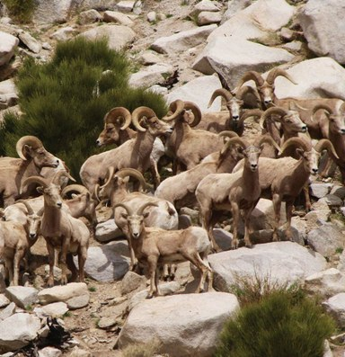The cost of the bighorn comeback