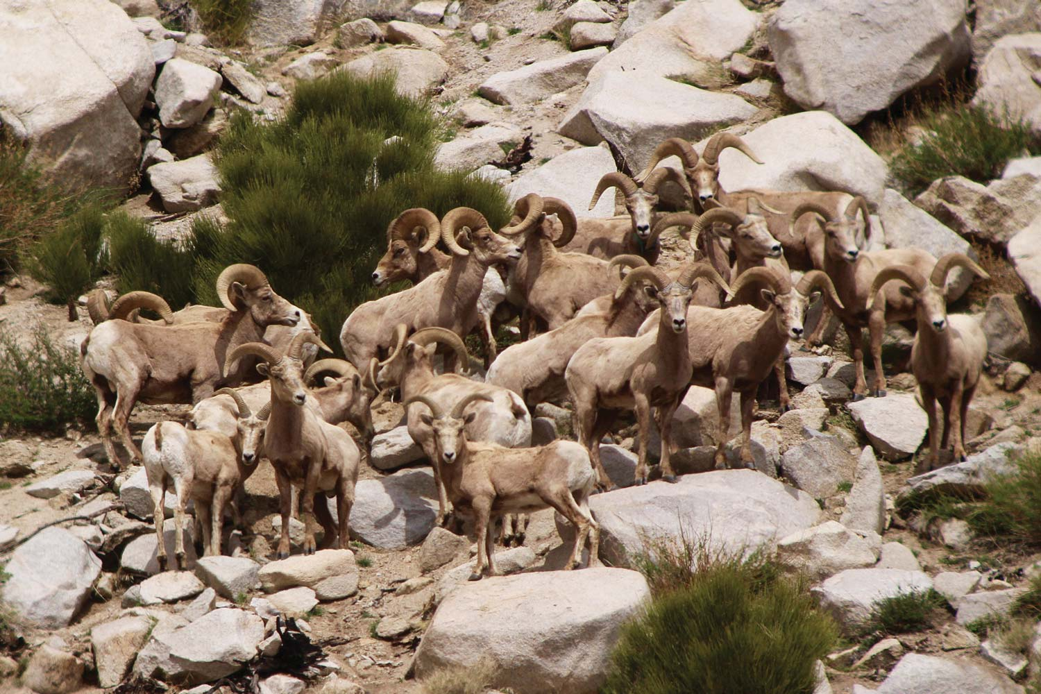 The Cost Of The Bighorn Comeback The Cost Of A Comeback High Country News Know The West