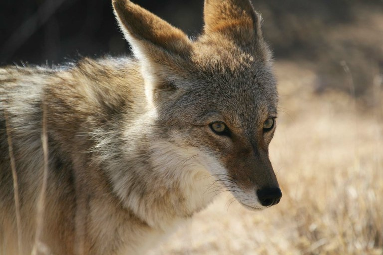 Why are coyotes so polarizing A biography of Old Man Coyote