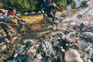 When Atlantic salmon escape in the Pacific, who cleans up?
