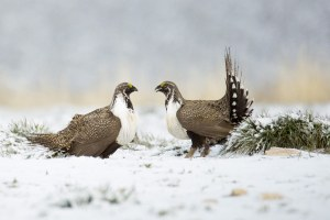 Sage grouse shake-up alienates conservationists