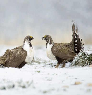 Sage grouse shake-up alienates conservationists
