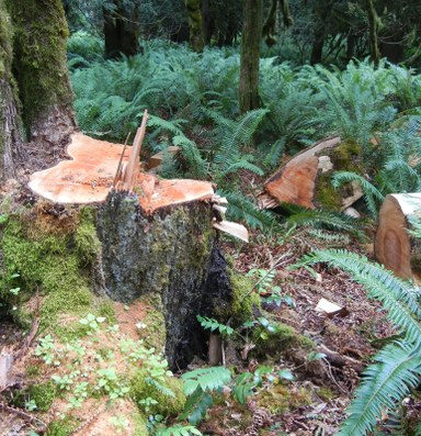 Latest: Northwest timber poaching increases