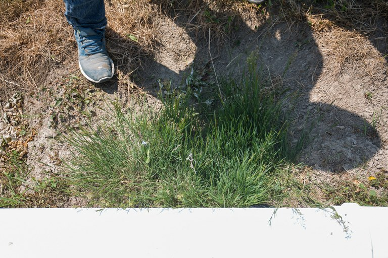 GMO grass is creeping across Oregon (Little weed, big