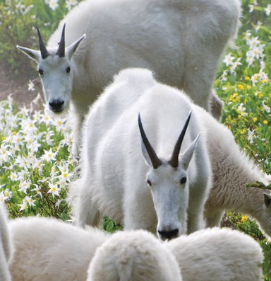 Latest: Park Service to remove problematic mountain goats