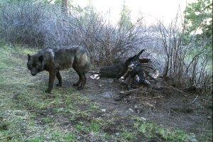 When cattle go missing in wolf territory, who should pay the price?