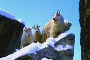 Photos: The elusive & iconic American mountain goat
