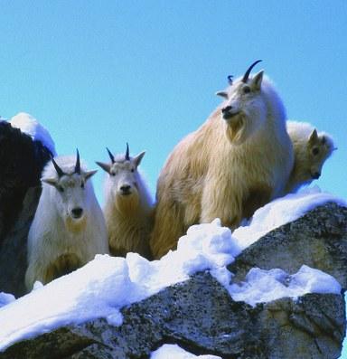 Photos: The elusive & iconic American mountain goat