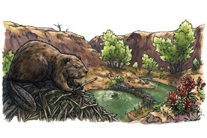 How beavers make the desert bloom