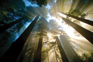 Enter the grandeur of the redwoods