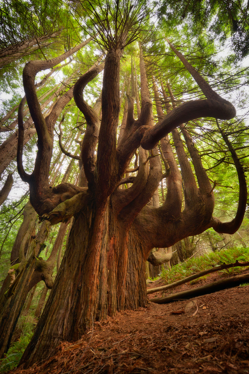 Enter the grandeur of the redwoods (The Once and Future ...
