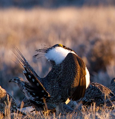 More prime sage grouse habitat is open for drilling