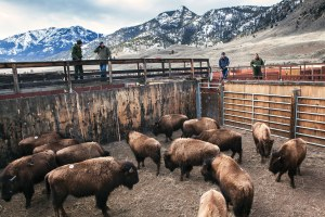 We have better options than killing bison