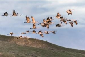 The arresting quiet of a crane migration in Washington