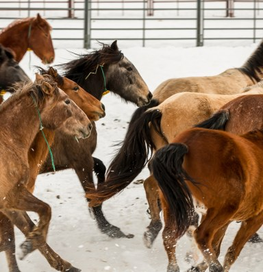Latest: BLM abandons plan to surgically sterilize wild horses