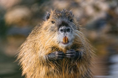 Latest: Return of the giant orange-toothed rodents
